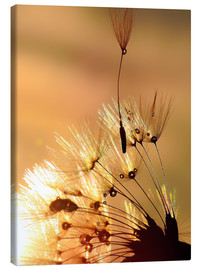 Canvas print  Dandelion golden touch - Julia Delgado