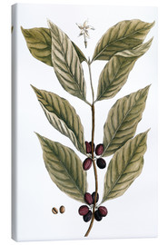 Canvas print  Coffee Plant - Elizabeth Blackwell