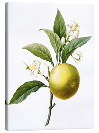 Canvas print  Orange Tree - Pierre Joseph Redouté