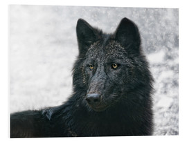 Foam board print  the black wolf - Joachim G. Pinkawa