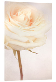 Acrylic print  WHITE WEDDING ROSE - INA FineArt