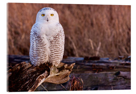 Acrylic print  Snowy owl on a tree - Art Wolfe