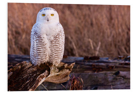 Foam board print  Snowy owl on a tree - Art Wolfe