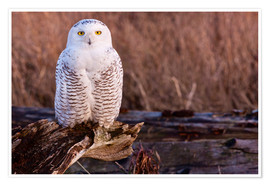 Premium poster  Snowy owl on a tree - Art Wolfe