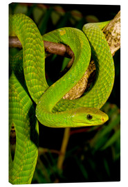 Canvas  East African Green Mamba - David Northcott