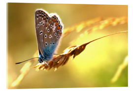 Acrylic print  Butterfly in late summer - Julia Delgado