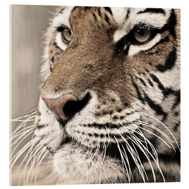 Acrylic glass  Tigerportrait - Marcel Schauer