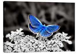 Canvas print  Blue butterfly on black colorkey II - Julia Delgado