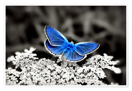 Premium poster  Blue butterfly on black colorkey II - Julia Delgado