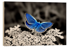 Wood print  Blue butterfly on black colorkey II - Julia Delgado