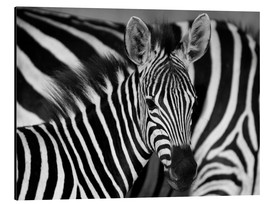 Aluminium print  Zebra black and white - HADYPHOTO