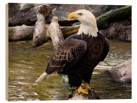 Wood print  Bald eagle - HADYPHOTO