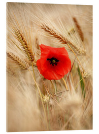 Acrylic print  Red poppy in wheat field 2 - Falko Follert