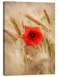 Canvas print  Red poppy in wheat field 2 - Falko Follert