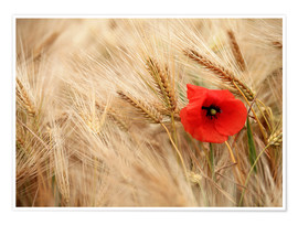 Premium poster  Red poppy in wheat field - Falko Follert