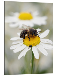 Aluminium print  Bee on the camomile lawn - Falko Follert