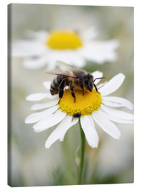 Canvas  Bee on the camomile lawn - Falko Follert