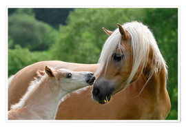 Premium poster Haflinger horses foal with mare