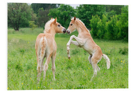 Foam board print  Haflinger foals playing and rearing - Katho Menden