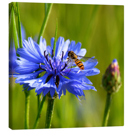 Canvas print  Cornflower with hoverfly - Atteloi