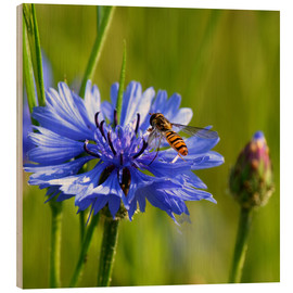 Wood print  Cornflower with hoverfly - Atteloi