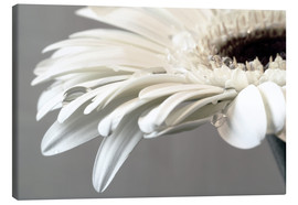 Canvas  White Gerbera with drops - Susanne Herppich