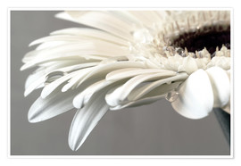 Premium poster  White Gerbera with drops - Susanne Herppich