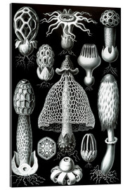Acrylic print  Basimycetes, artistic forms of nature, picture 63 - Ernst Haeckel