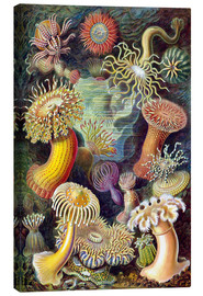 Canvas  Actiniae - Ernst Haeckel