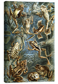 Canvas print  Batrachia - Ernst Haeckel