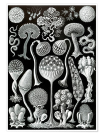 Premium poster  Mycetozoa (Forms of Nature: graphic 93) - Ernst Haeckel
