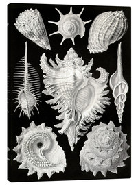 Canvas print  Prosobranchia, (art forms of nature: graphic 53) - Ernst Haeckel