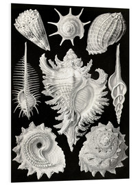 Foam board print  Prosobranchia, (art forms of nature: graphic 53) - Ernst Haeckel
