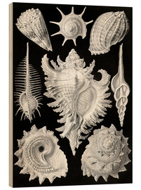 Wood print  Prosobranchia, (art forms of nature: graphic 53) - Ernst Haeckel
