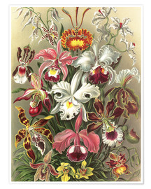 Premium poster  Orchids, artistic forms of nature, graphic 74 - Ernst Haeckel