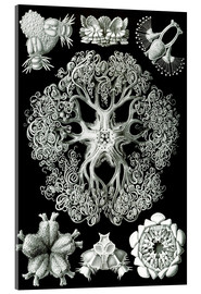 Acrylic print  Ophiodea 70 - Ernst Haeckel