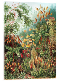 Acrylic glass  Muscinae - Ernst Haeckel