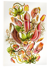 Acrylic print  Nepenthaceae - Ernst Haeckel