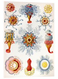 Acrylic print  Siphonophorae (Art forms of nature: graphic 17) - Ernst Haeckel