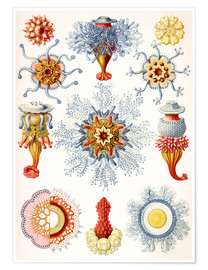 Premium poster  Siphonophorae (Art forms of nature: graphic 17) - Ernst Haeckel