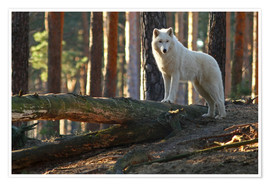 Premium poster  Animals Wolf - WildlifePhotography
