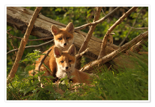 Premium poster Young foxes