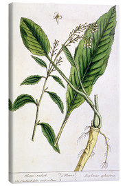 Canvas  Horseradish, plate 415 from 'A Curious Herbal', published 1782 - Elizabeth Blackwell