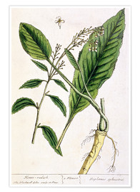 Premium poster Horseradish, plate 415 from 'A Curious Herbal', published 1782