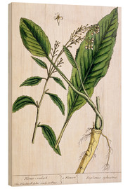 Wood print  Horseradish, plate 415 from 'A Curious Herbal', published 1782 - Elizabeth Blackwell