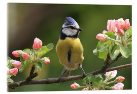 Acrylic print  Blue Tit on apple blossoms - Uwe Fuchs