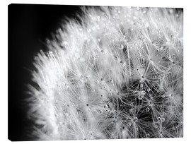 Canvas print  Dandelion dew drops black and white - Julia Delgado