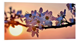 Foam board print  Cherry blossoms against evening under the setting sun - Julia Delgado