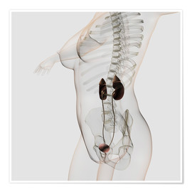 Premium poster  Three dimensional view of female urinary system. - Stocktrek Images