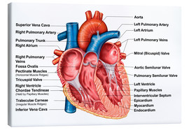 Canvas  Anatomy of heart interior, frontal section - Stocktrek Images